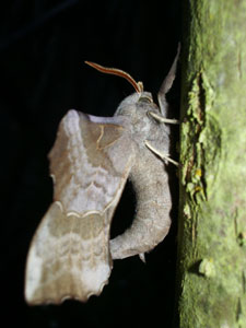 Poplar hawk-moth, photographed 17 June 2006 by B Crowley