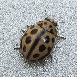 16-Spot Ladybird (Tytthaspis 16-punctata) photographed 27 July 2005 by B Crowley. ID by Richard Comont.