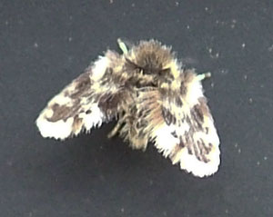 Moth fly, photographed 06 April 2009 by S Calvert Fisher