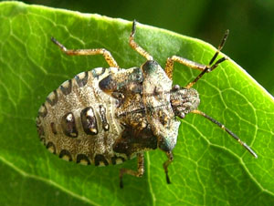 Forest bug nymph (final instar), photographed 23 June 2009 by S Calvert-Fisher