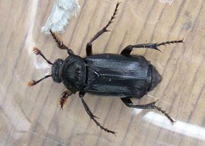 Black Sexton Beetle (Nicrophorus humator) photographed 25 April 2010 by Sue Calvert-Fisher