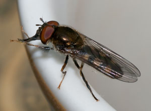 Platycheirus scutatus - a hoverfly, photographed 02 May 2010 by B Crowley (id: diptera.info)