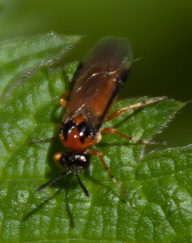 Athalia rosae - a sawfly, photographed 03 June 2010 by B Crowley. Id by diptera.info