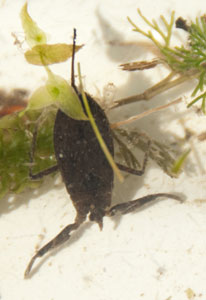 Water Scorpion (Nepa cinerea) photographed 03 June 2010 by B Crowley