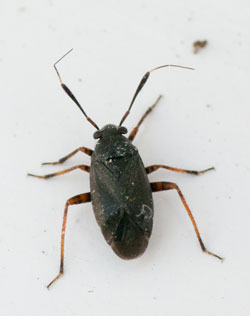 Capsus ater, a capsid bug, photographed 04 June 2010 by B Crowley