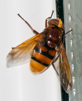 Volucella zonaria (a hoverfly) - female, photographed 14 July 2010 by B Crowley