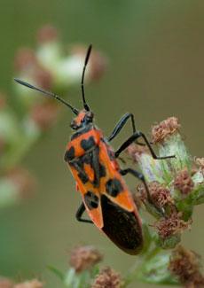 Corizus hyoscyami, a shield-bug, photographed 21 August 2010 by W Ball