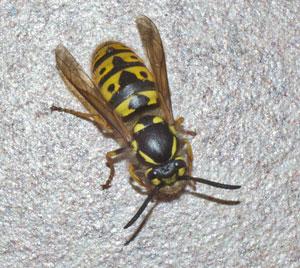 German wasp (Vespula germanica) - queen, photographed  23 March 2011 by B Crowley