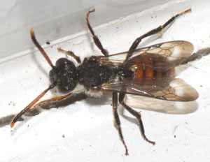Nomada fabriciana, photographed 25 March 2011 by B Crowley. Identification by Ivan Wright.