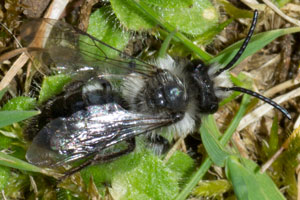 Andrena cineraria, photographed 07 April 2011 by B Crowley