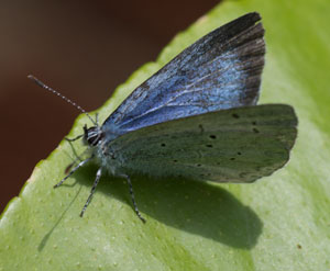 Holly Blue (Celastrina argiolus) female, photographed 01 May 2011 by B Crowley.
