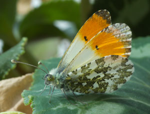 Orange Tip (Anthocharis cardamines)- male, photographed 01 May 2011 by B Crowley