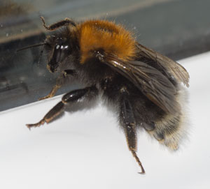 Bombus hypnorum, photographed 06 June 2011 by B Crowley