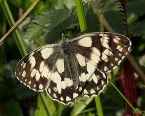 Marbled white (Melanargia galathea) photographed 19 June 2011 by B Crowley