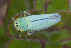 Cicadella viridis - a leafhopper, photographed 07 July by B Crowley