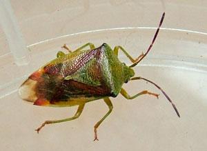 Birch Shield Bug (Elasmostethus interstinctus) photographed 02 October 2011 by S Calvert-Fisher