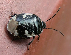 Pied Shieldbug (Tritomegas bicolor) photographed 22 March 2012 by Sue Calvert-Fisher