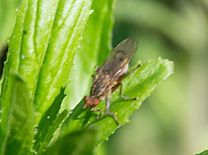 A Sciomyzid fly photographed 27 May 2013 by B Crowley.