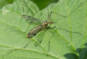 Nephrotoma quadrifaria, a crane-fly, photographed 06 June 2013 by B Crowley