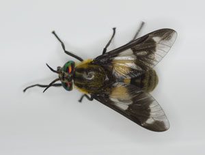 Chrysops caucutiens, a horse fly, photographed 22 July 2013 by B Crowley