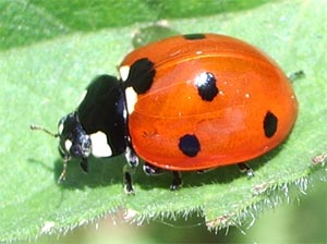 7-spot ladybird, photographed 30 May 2005 by B Crowley