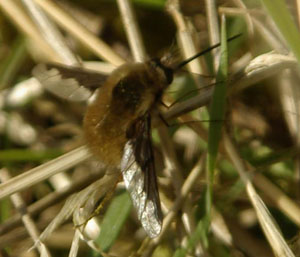 Bee fly, Bombylius major, photographed 14 April 2006 by L Pasquire