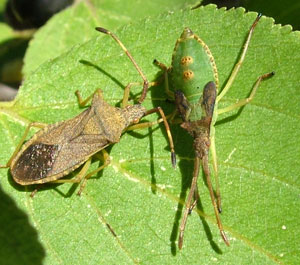 Box Bugs (Gonocerus acuteangulatus) photographed 23 August 2008 by S Calvert-Fisher