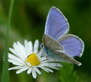 Common Blue, photographed 30 May 2005 by L Pasquire