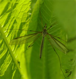Crane fly, Tipula oleracea, photographed 15 May 2005 by L Pasquire