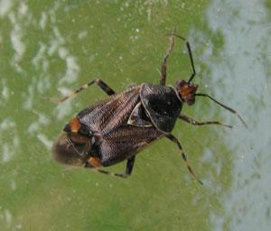 Deraeocoris flavilinea, photographed by B Crowley, 28 June 2008