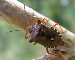 Forest bug (Pentatoma rufipes) photographed 26 July 2008 by S Calvert-Fisher