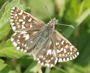 Grizzled skipper (Pyrgus malvae) photographed 28 April 2011 by Wayne Bull