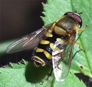 Eupeodes corollae (a hover-fly) photographed 15 May 2005 by B Crowley