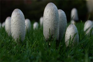 Shaggy Inkcap, photographed 2 October 2004 by L J Pasquire