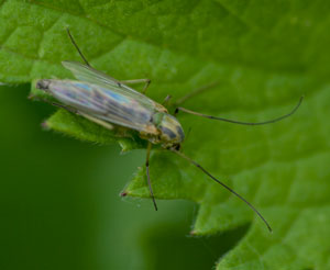 A chironominid midge, photographed 09 May 2009 by B Crowley  (id: diptera.info)