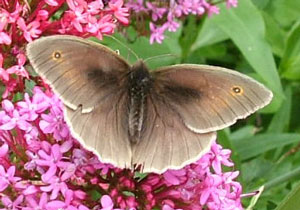 Meadow Brown, photographed 4 July 2008 by S Calvert-Fisher