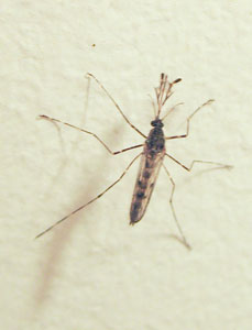 Aedes cantans - a mosquito, photographed 03 November 2008 by B Crowley