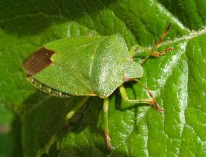 Green Shield Bug (Palomena prasina) photographed 12 May 2009 by S Calvert-Fisher