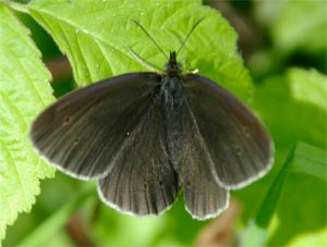 Ringlet, photographed 26 June 2005 by L Pasquire