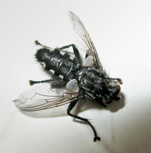 Sarcophagid fly, photographed by B Crowley, 12 May 2008