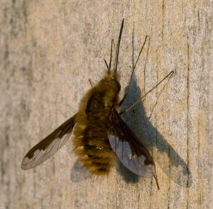 Bee-fly (Bombylius major) photographed 20 April 2009 by B Crowley