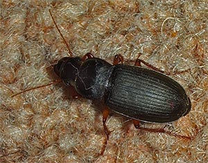Harpalus beetle, photographed 30 June 2005 by B Crowley