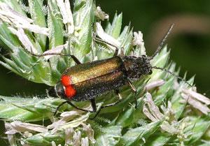 Malachius bipustulatus, photographed 18 June 2006 by B Crowley