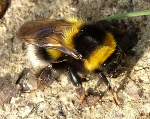 Bombus hortorum, photographed 21 March 2009 by S Calvert-Fisher