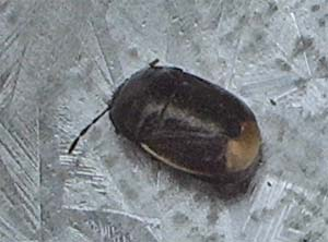 Sehirus luctousus, photographed 6 June 2005 by B Crowley