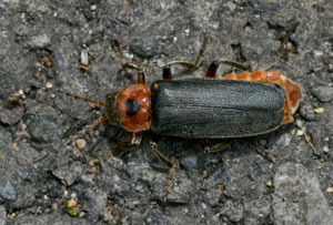 Cantharis rustica, photographed 22 May 2009 by B Crowley