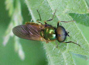 Chloromyia formosa, photographed 04 June 2006 by B Crowley