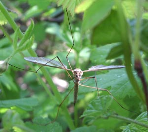 Crane fly, tipula oleracea, photographed 15 May 2005 by B Crowley