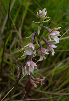 Marsh Helleborine (Epipactis palustris) photographed 09 July 2009 by B Crowley