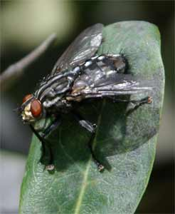 Flesh Fly, photographed 21 August 2004 by L J Pasquire